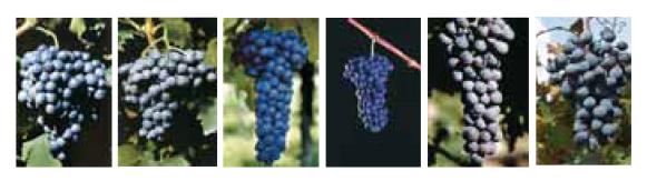 Vini uve valpolicella villa Canestrari