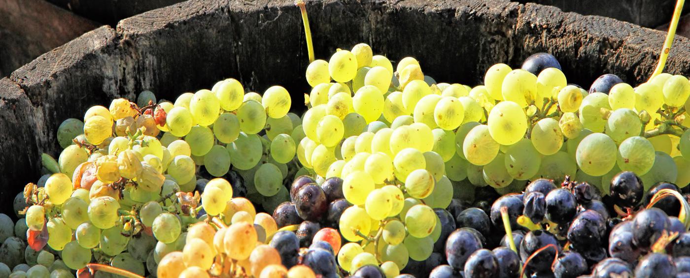 villa-canestrari-uva