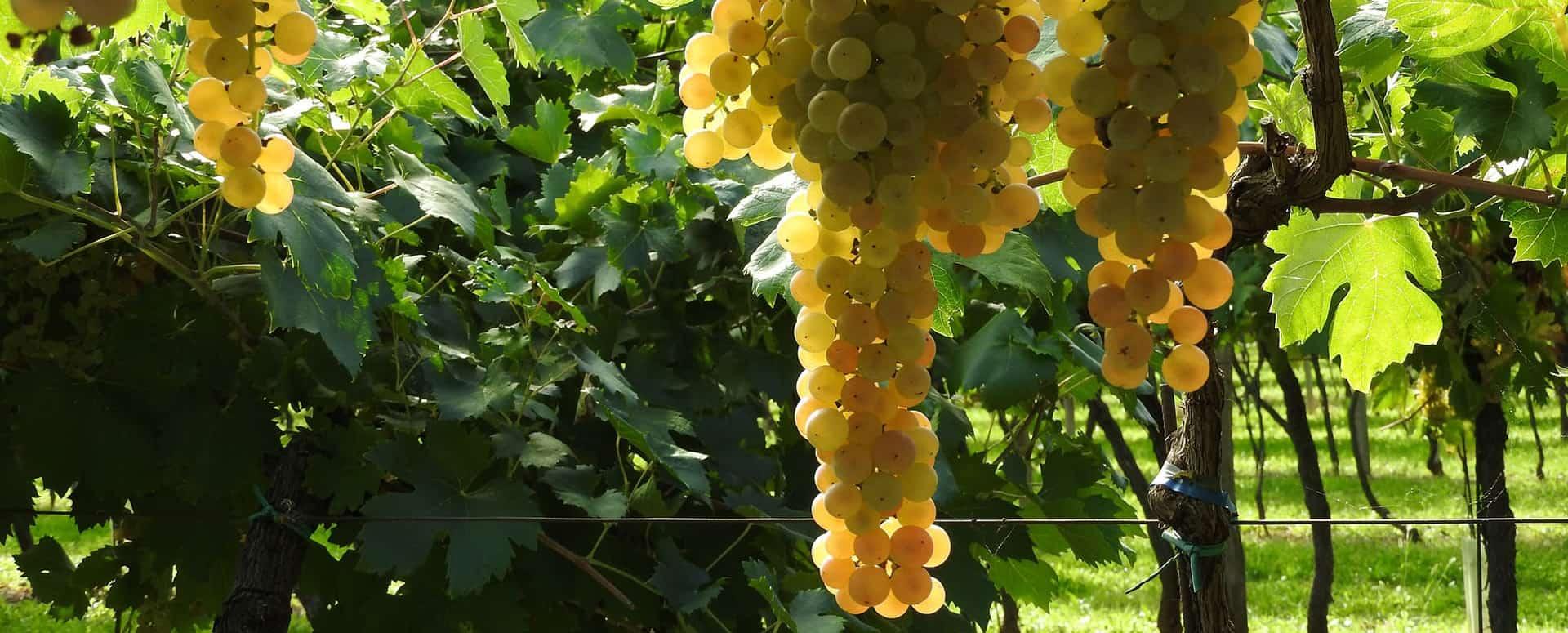 vebdemmia uva bianca Villa Canestrari